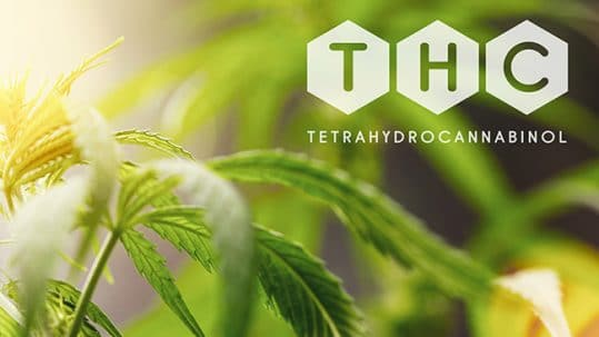 THC cannabis top en marijuana plant