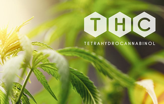 THC cannabis top en marijuana plant