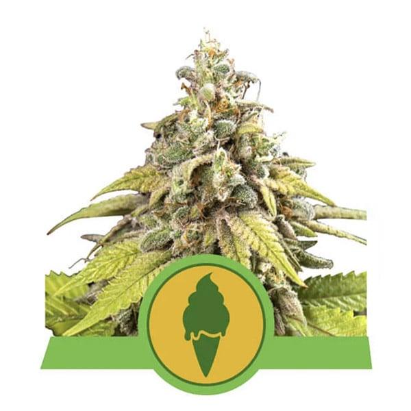 Green Gelato Autoflower Royal Queen wietzaadjes