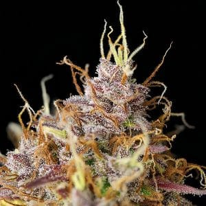 Purple Queen Autoflower