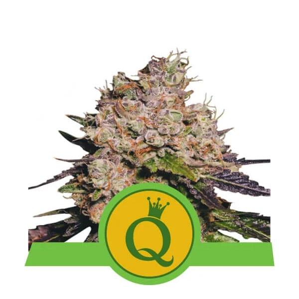 Purple Queen Autoflower Royal Queen wietzaadjes