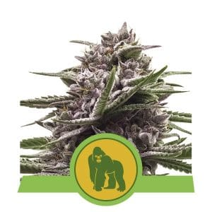 Royal Gorilla Autoflower
